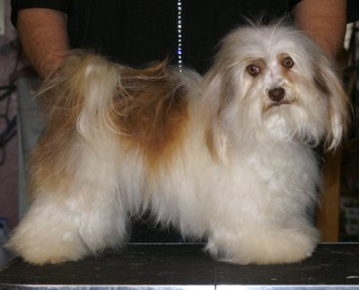 Z Farmy Zvirat Havanese NOW LIVES IN CANADA
